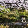 公園の池と桜