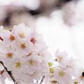 写真: 曇天の桜