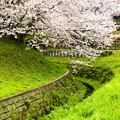 写真: 水路と桜