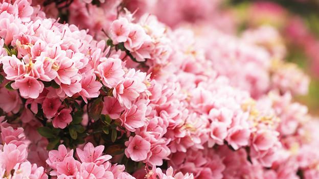 写真: 九重咲き