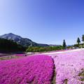 写真: 芝桜と武甲山