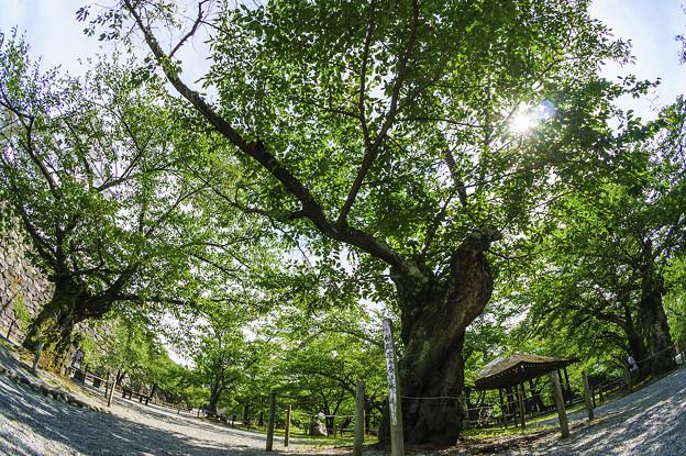 桜開花基準木