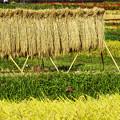 写真: 稲刈りの季節