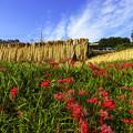 写真: 彼岸花と収穫
