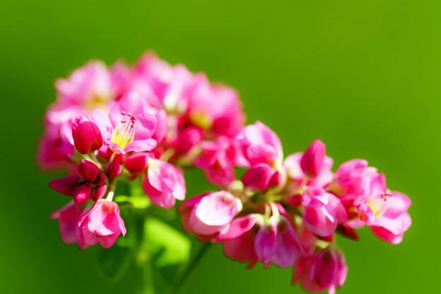 赤そばの花