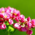 写真: 赤そばの花