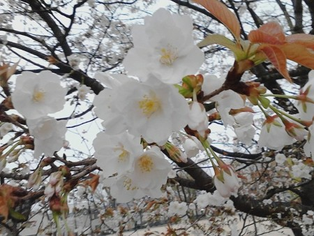 2018.4月 八重桜