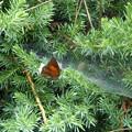 Photos: クモの巣に捕まったウラギンシジミ