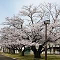 Photos: 老桜