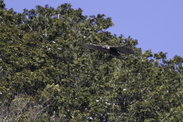 クマタカ(雌)飛翔