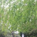 さくらの山公園 葉桜