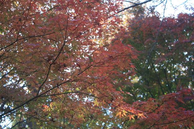 色づく紅葉 (4)