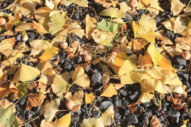 落下した銀杏の葉