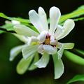 カリカンサス白花