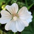 ゼニアオイ白花
