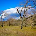 台風被害の桜の園