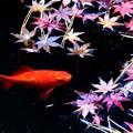 Photos: 赤いべべ来た可愛い金魚 ♪