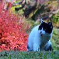写真: 紅葉猫