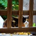 写真: 神社猫