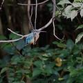 枝にカワセミくん