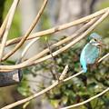 写真: 枝にカワセミちゃん