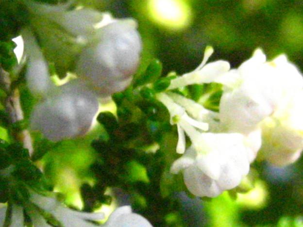 スズランエリカの花6
