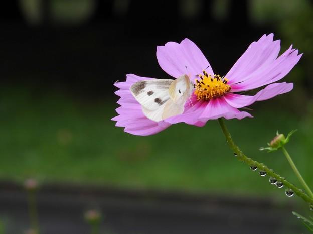 秋桜・散策~