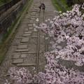 写真: 桜さんぽ