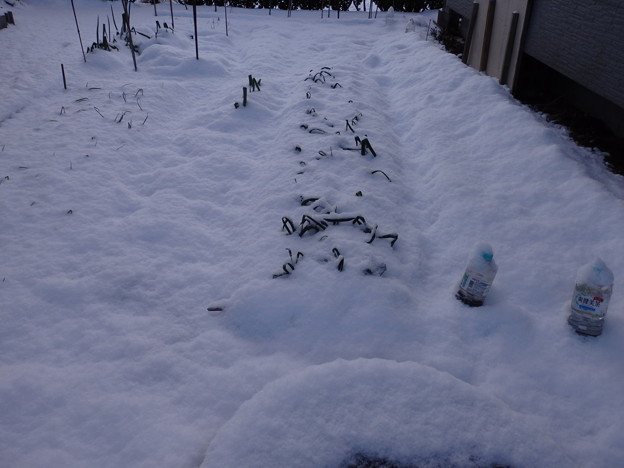 畑のニンニクにも雪が