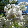 写真: 白い藤