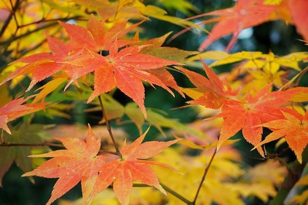 鶏足寺の紅葉(與志漏神社)