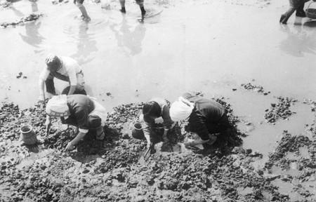 櫛津貝掘り 1961-2