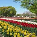 写真: 公園を彩るチューリップ