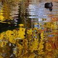Photos: 鴨チャン池に映った銀杏の紅葉鑑賞する