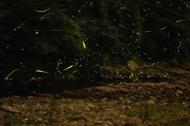 写真: 蛍の乱舞