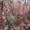 写真: 桜づくし