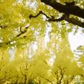 写真: 夢のような黄葉
