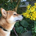 Photos: つわぶきと柴犬