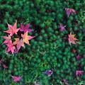 写真: 紅葉の花