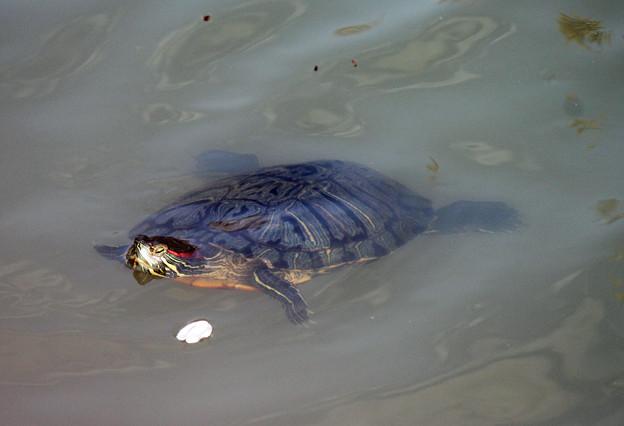写真: 長池のカメさん(4)桜の花びらと泳ぐ
