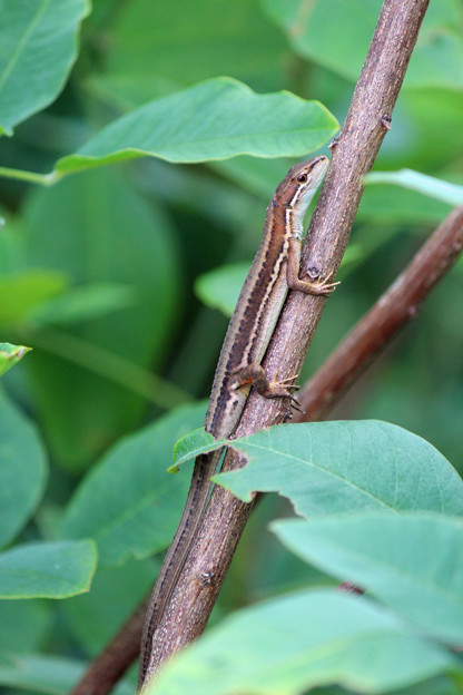 カナヘビさん  木登りで一休み