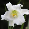 写真: シンテッポウユリ(1)   花粉が黄色い