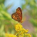写真: ツマグロヒョウモンさん(雄) セイタカアワダチソウの花に?