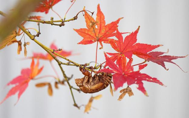 イロハモミジの紅葉に  小さい秋見つけた