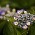 写真: 蒼い香り blue-notes 17
