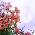 Photos: 8月の薄い空/ノウゼンカズラ