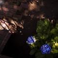 写真: こもれ美 紫陽花 c