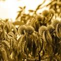 写真: |秋景|クリ結実