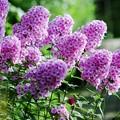 ピンクの主張/花魁草たち