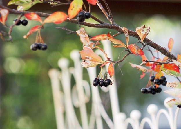 初秋の庭/チョコベリー